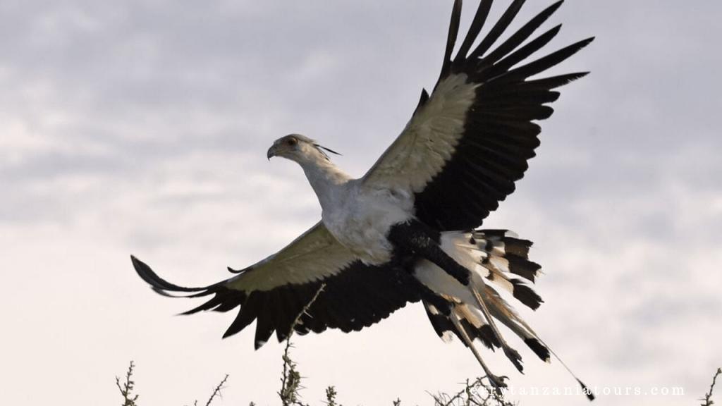 Secretary Bird flying