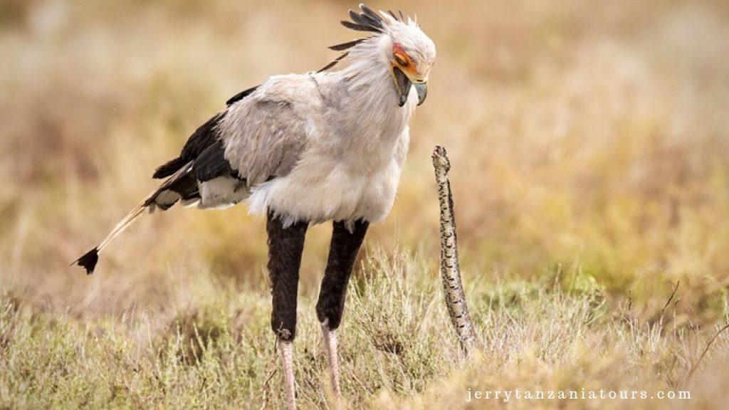 Secretary Bird hunting a snake