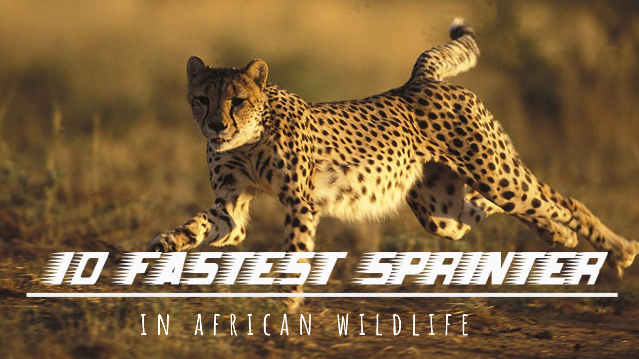 Top 10 Fastest sprinter of the world to see in wild-Africa