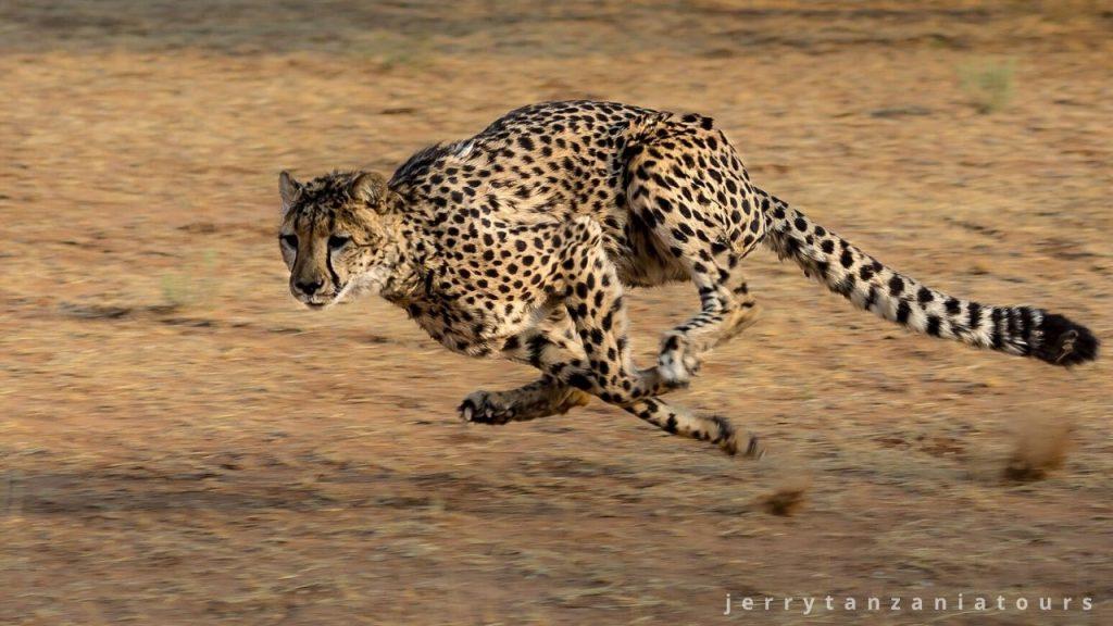 cheetah running at high speed