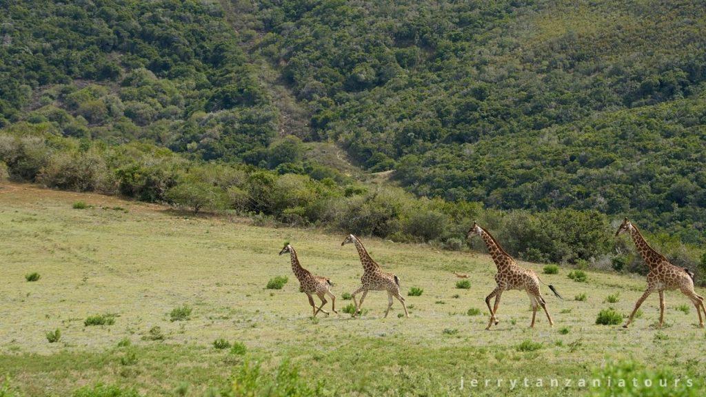 giraffes running