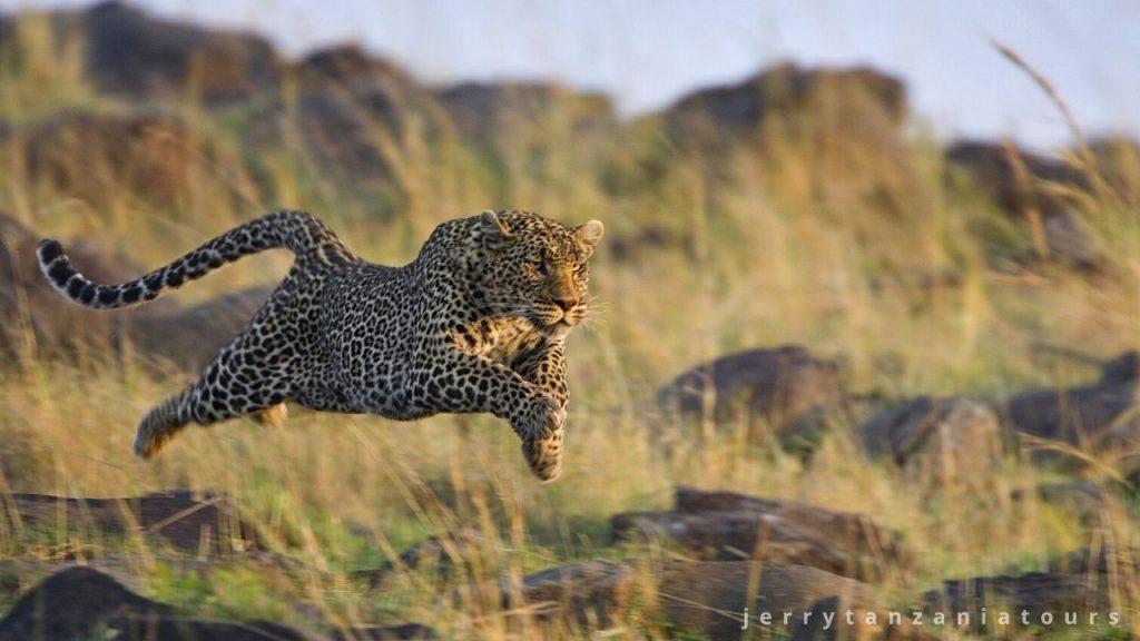 a running leopard