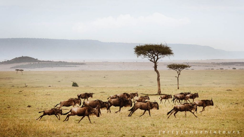 herd of wildebeest running
