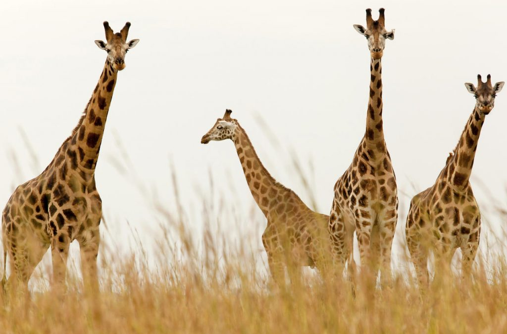 giraffe in groups