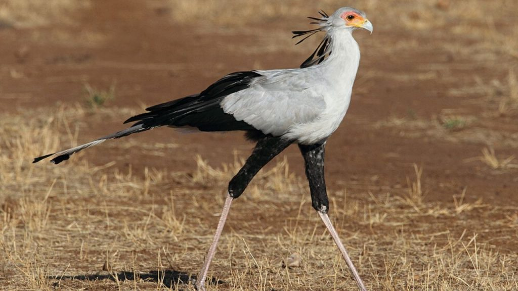 Secretary Bird Natural Habitat