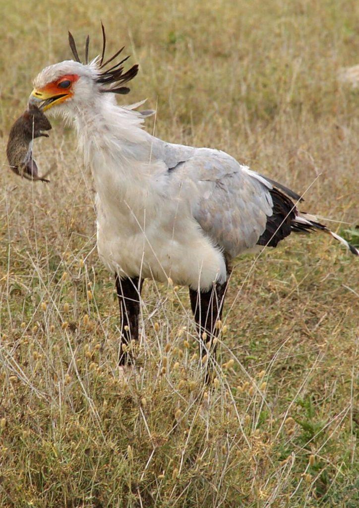 Ecosystem role of secretary bird