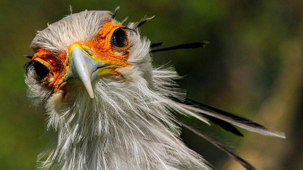 Secretary Bird Behaviour