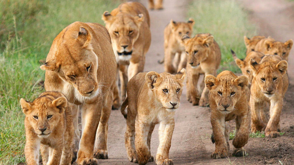 highest no of African Lions