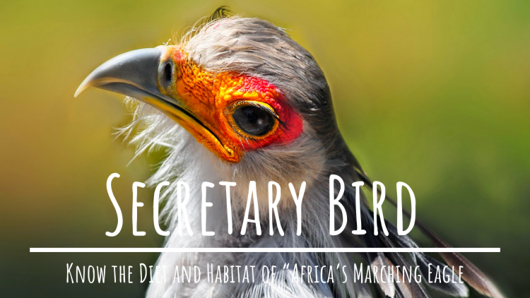 Diet and Habitat of Secretary Bird