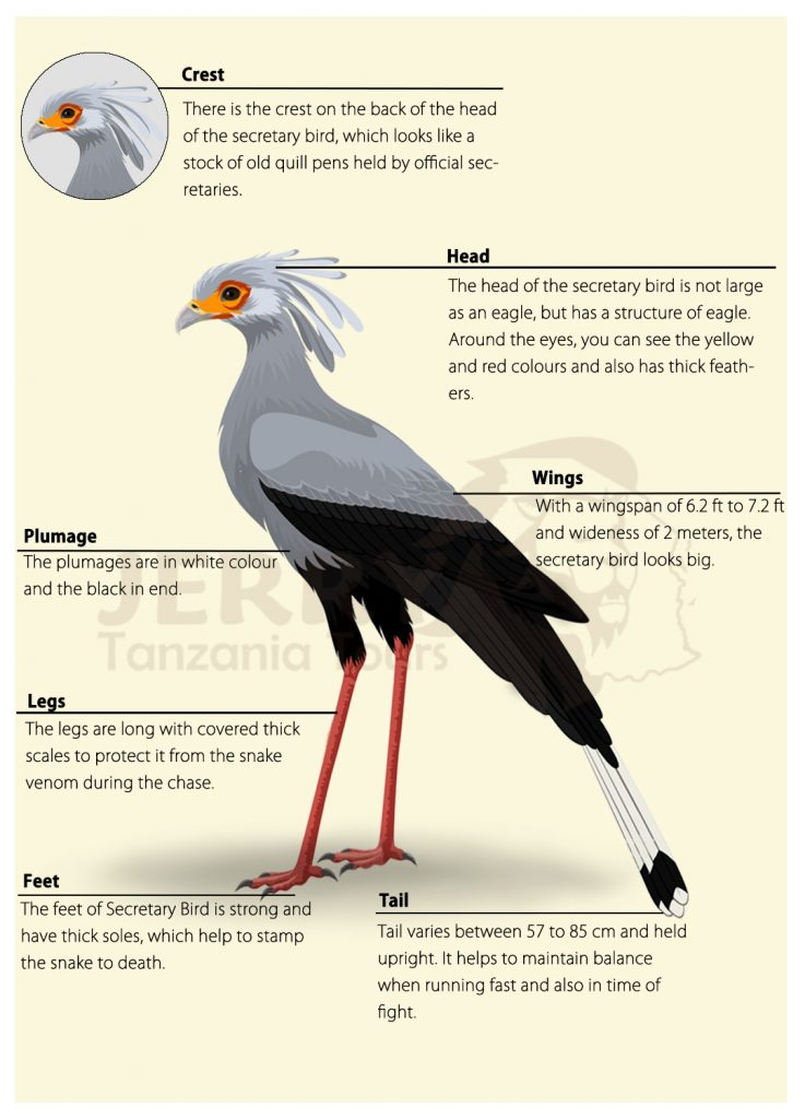 Secretary Bird Physical Characteristics