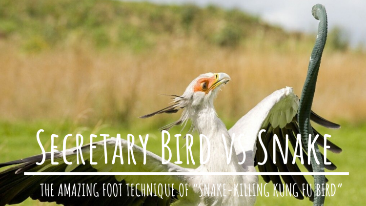 Secretary Bird vs Snake