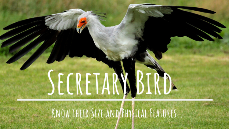 Secretary bird size