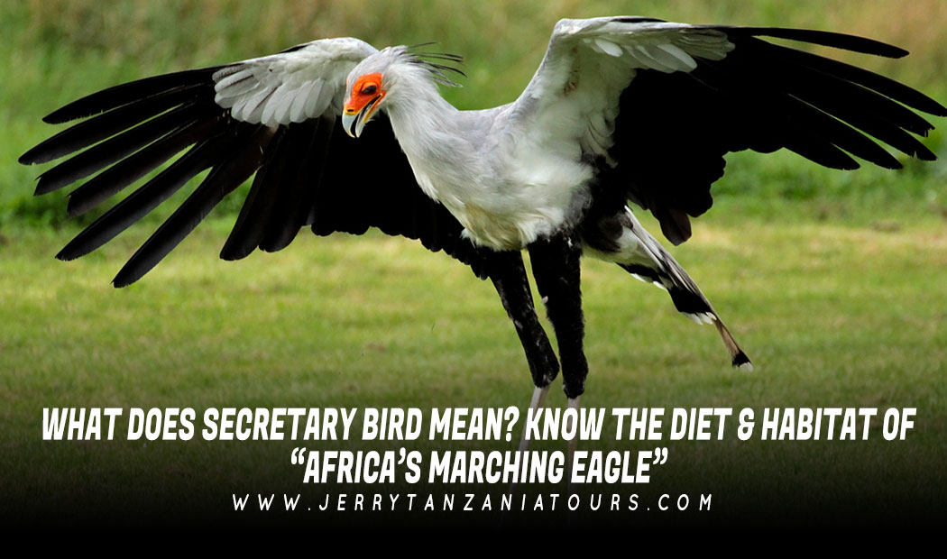 """What Does Secretary Bird Mean? Know The Diet & Habitat Of """"Africa's Marching Eagle"""""""