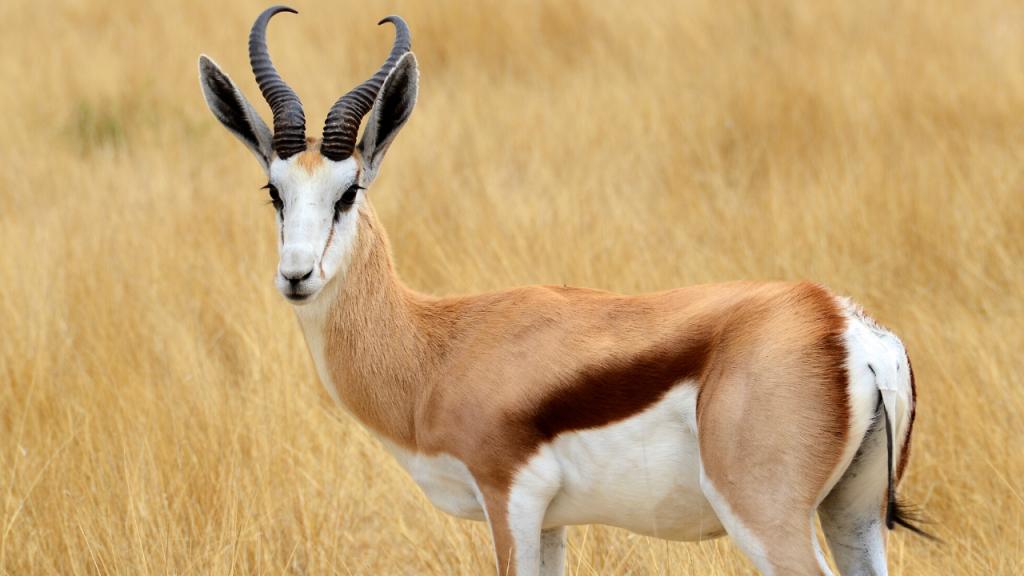 Antelope Speed