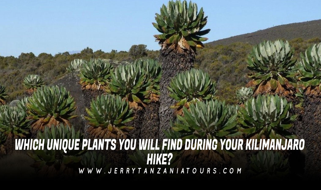 WHICH-UNIQUE-PLANTS-YOU-WILL-FIND-DURING-YOUR-KILIMANJARO-HIKE