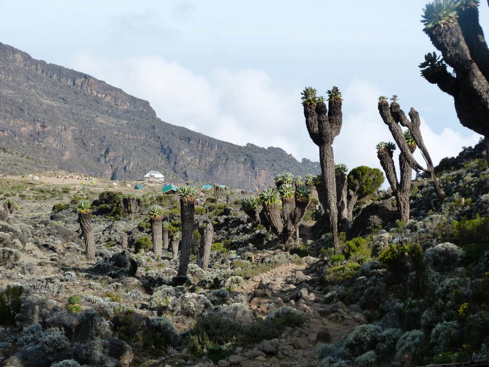 Dendrosenecio Kilimanjaro