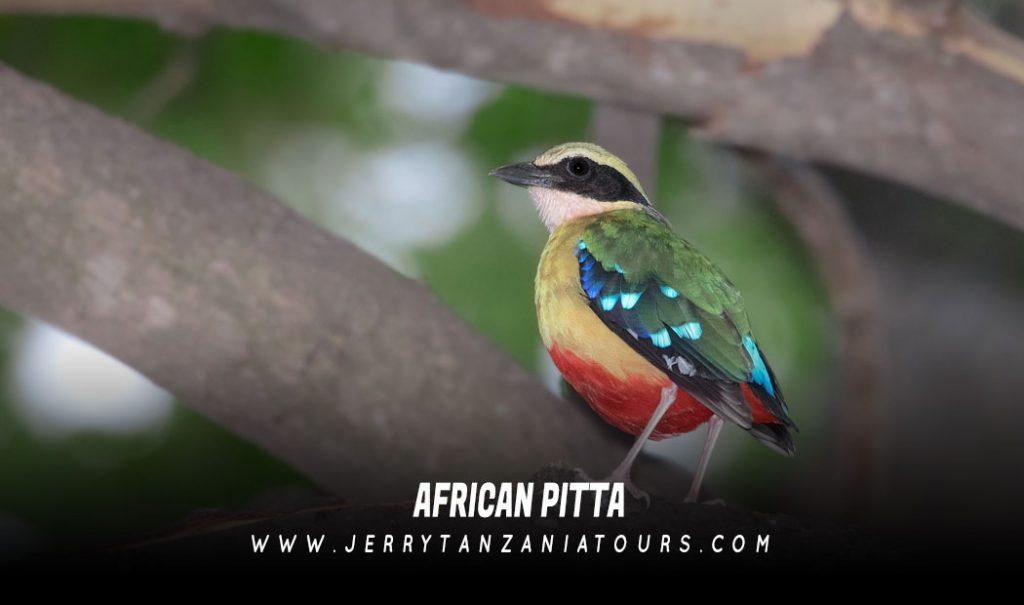 African-Pitta