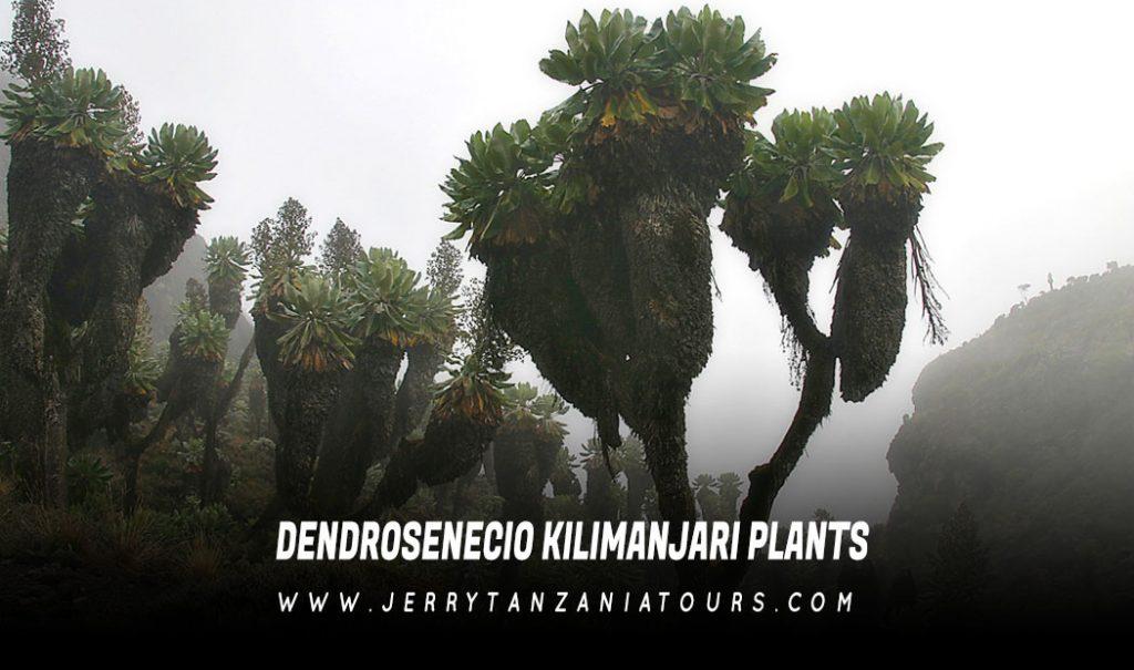 Dendrosenecio-Kilimanjari-Plants