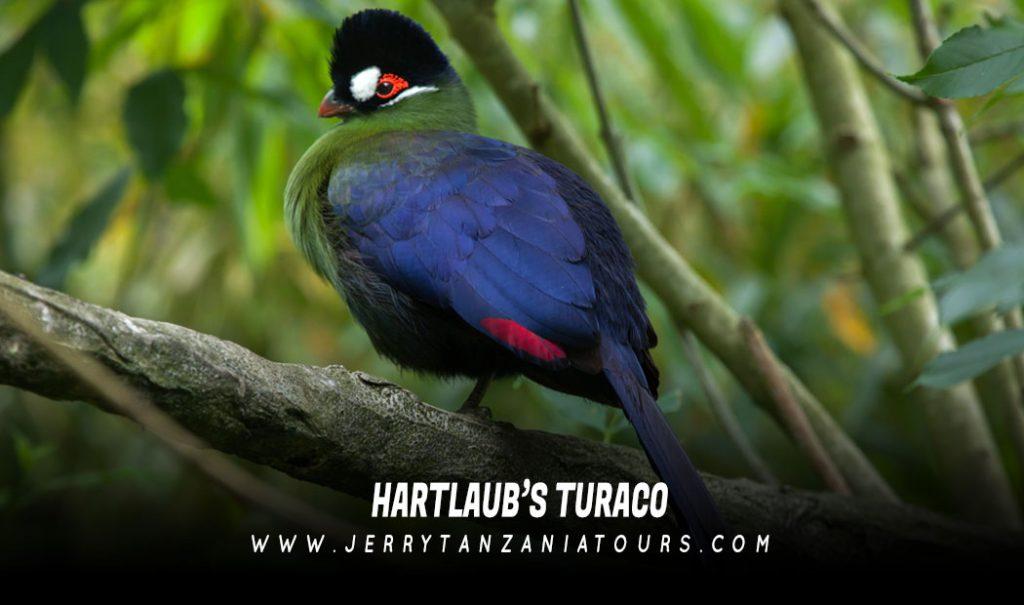 Hartlaub's-Turaco