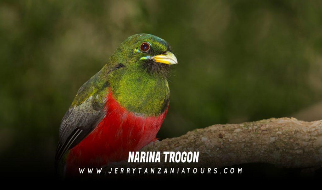 Narina-Trogon
