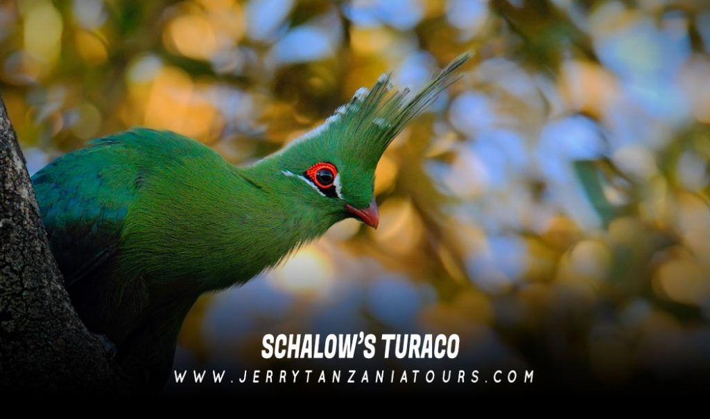 Schalow's-Turaco