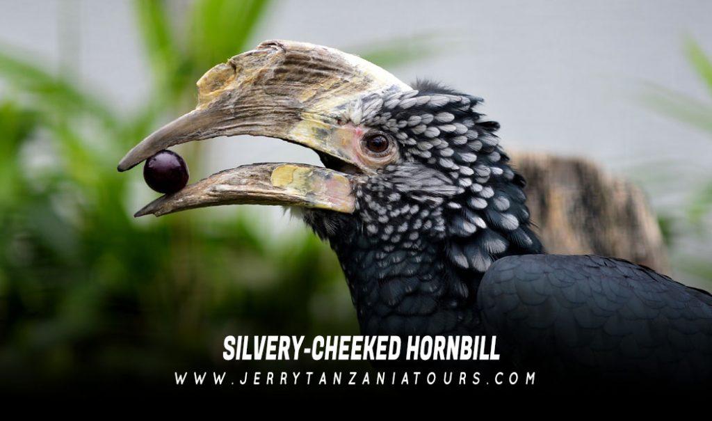 Silvery-Cheeked-Hornbill