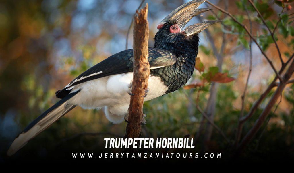 Trumpeter-Hornbill
