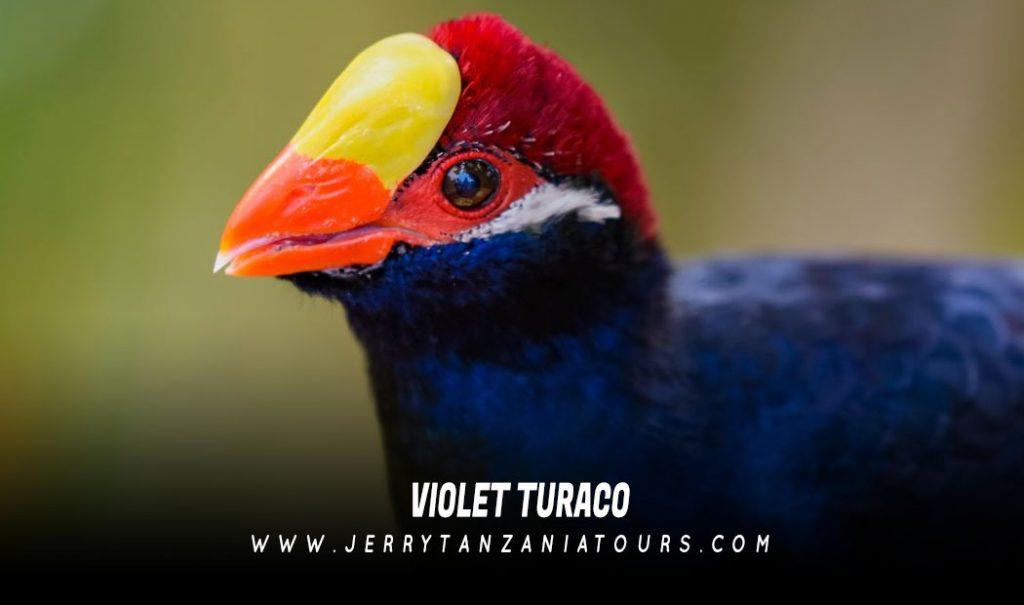 Violet-Turaco