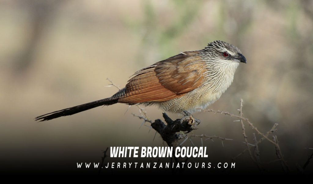 White-Brown-Coucal