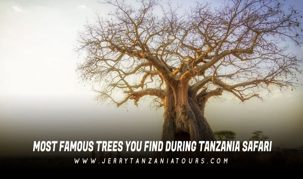 Most Famous Trees You Find During Tanzania Safari