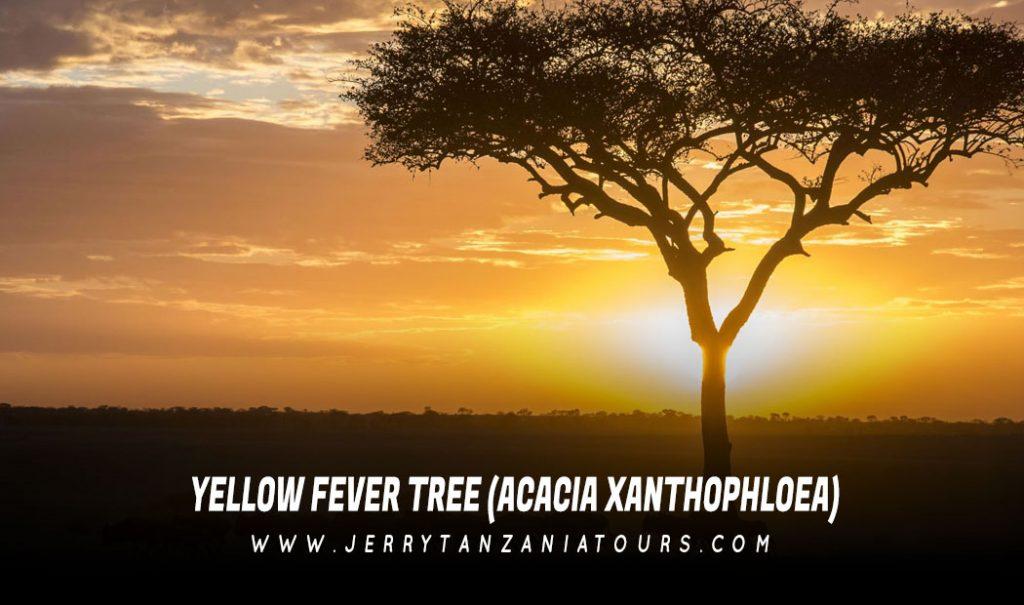 Yellow Fever Tree