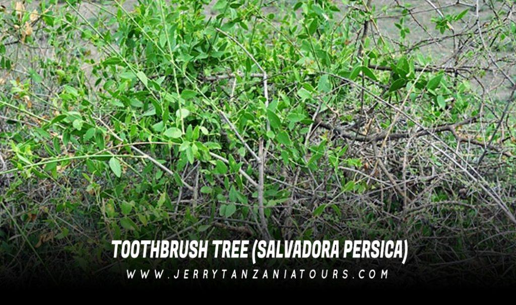Toothbrush Tree