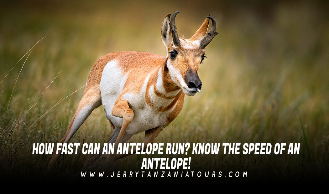 How Fast Can An Antelope Run? Know The Speed Of An Antelope!
