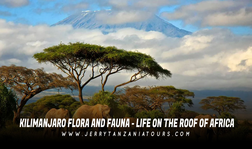 Kilimanjaro Flora And Fauna – Life On The Roof of Africa