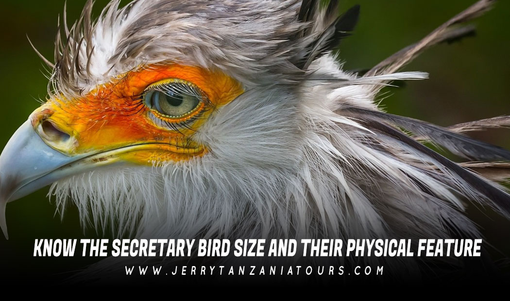 Know The Secretary Bird Size and Their Physical Features.