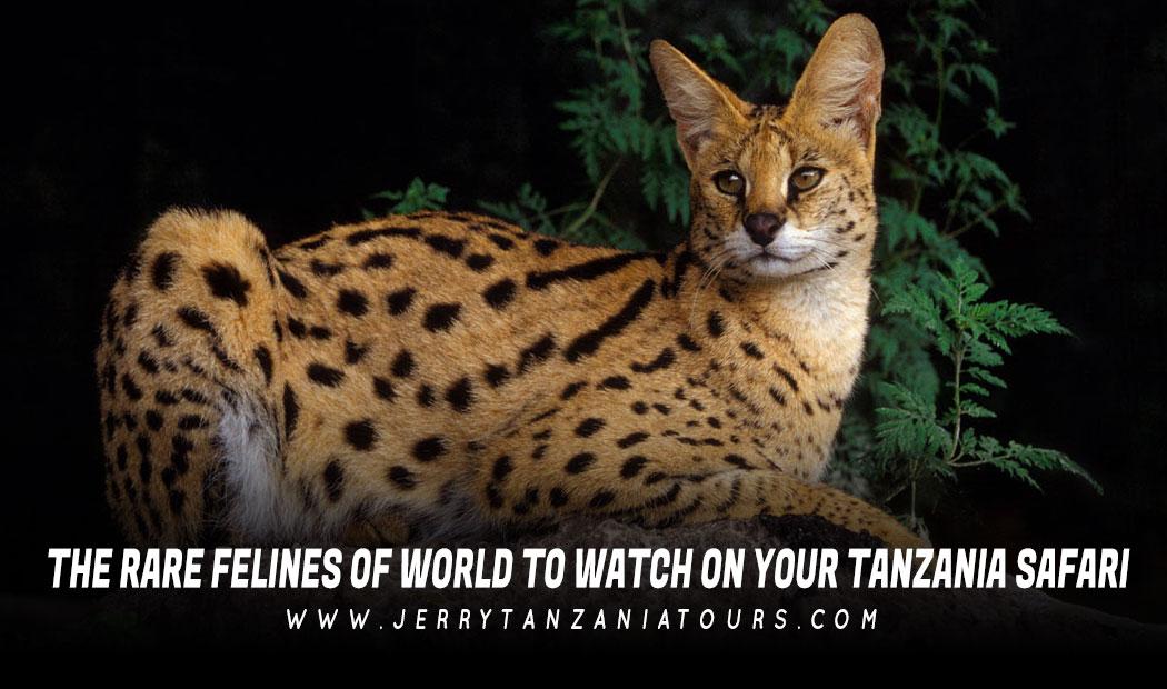 The Rare Felines Of World To Watch On Your Tanzania Safari